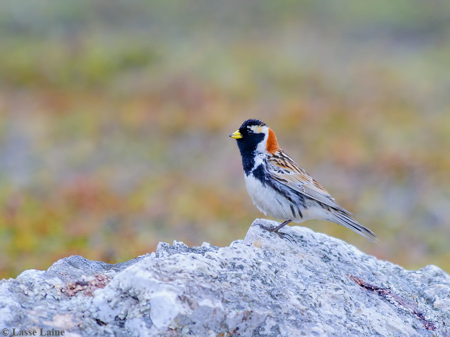 Lapland longspur (Calcarius lapponicus) captured in North Finland