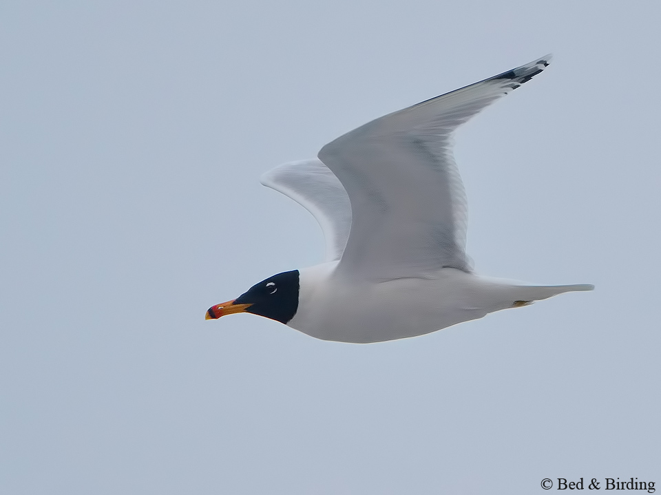 Great Black-headed Gull, Karawaika cottage, Birding Ukraine, Dniester Delta